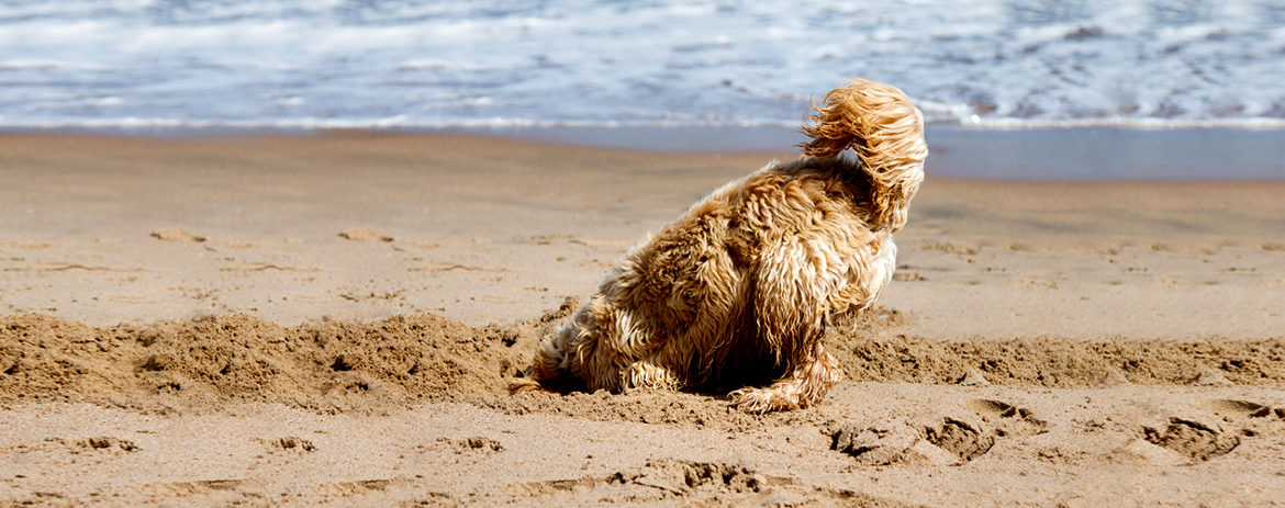 Dog digging in the sand